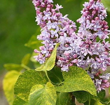 Сирень обыкновенная Aucubaefolia