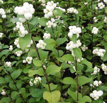 Снежноягодник White Hedge