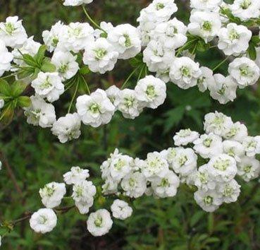 Спирея сливолистная (Prunifolia)