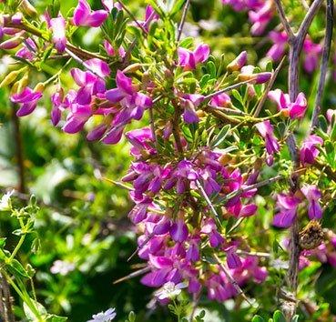 Чингиль (halimodendron halodendron)