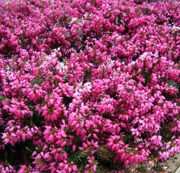 Эрика розовая Rubinteppich
