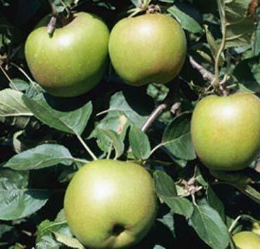 Яблоня домашняя Boskoop