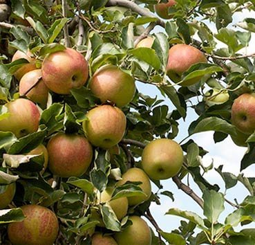 Яблоня домашняя Jonagold