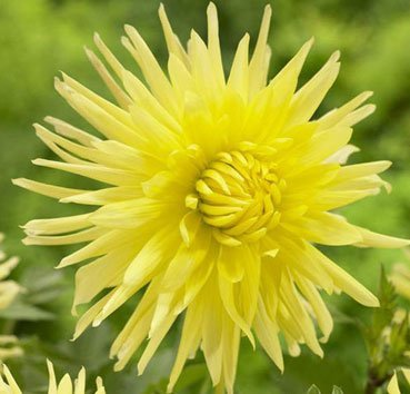 Георгина Cactus Yellow Star