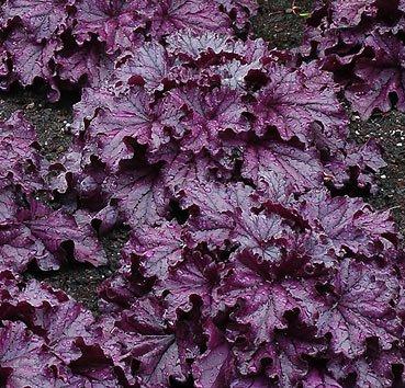 Гейхера Forever Purple