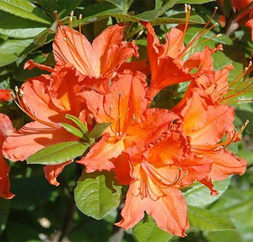 Азалия крупноцветковая Brazil