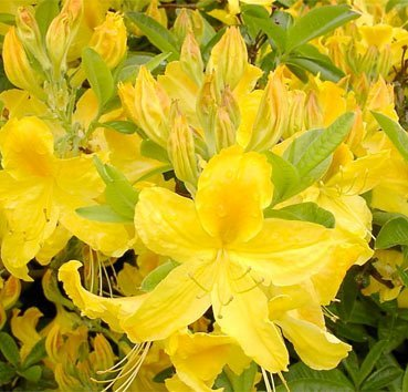 Азалия крупноцветковая Goldtopas
