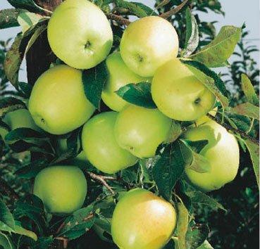 Яблоня домашняя Goldparmane