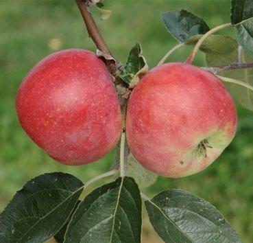 Яблоня домашняя Графштынек красный