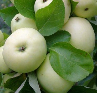 Яблоня домашняя Оливковая желтая (Paperowka)