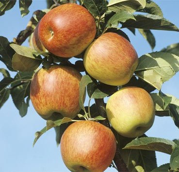 Яблоня домашняя Рен де Ренет