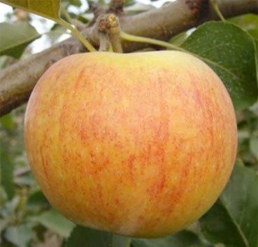 Яблоня домашняя Персиковая