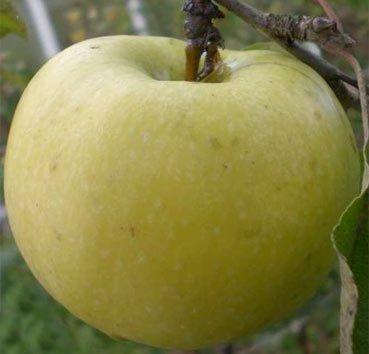 Яблоня домашняя Ранет мускатный