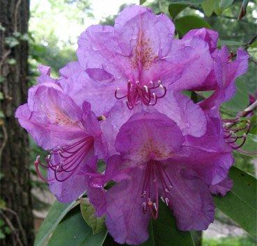 Рододендрон Lee's Dark Purple