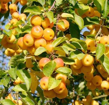 Яблоня Butterball