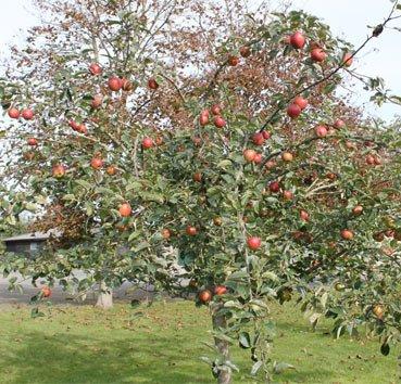Яблоня домашняя Kaiser Wilhelm