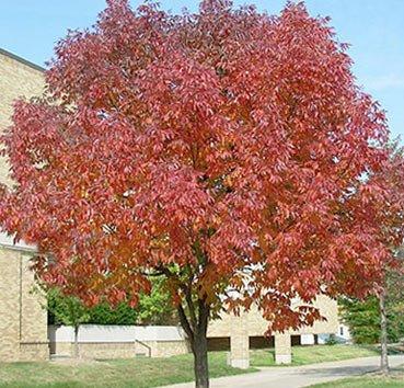 Ясень американский Autumn Purple
