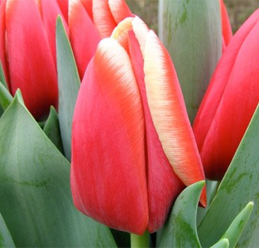 Тюльпан ANNA KRASAVITSA (Триумф)