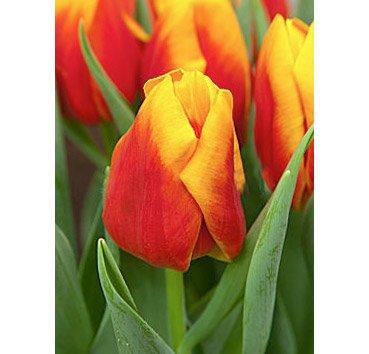 Тюльпан BOMBITA (Триумф)