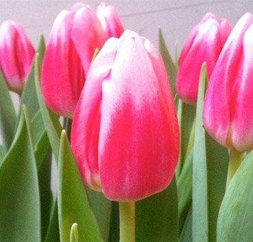 Тюльпан CIRCUIT (Триумф)