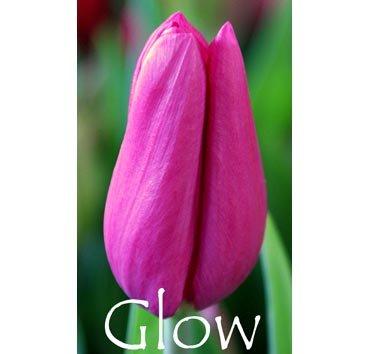 Тюльпан GLOW (Триумф)