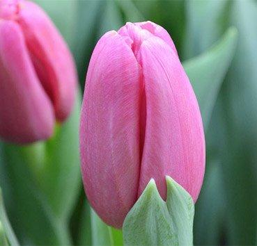 Тюльпан ACE PINK (=aruba) (Триумф)