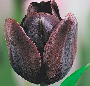 Тюльпан CAFE NOIR (Триумф)
