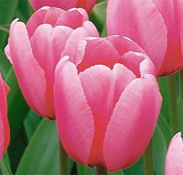 Тюльпан PINK IMPRESSION (Гибриды Дарвина)