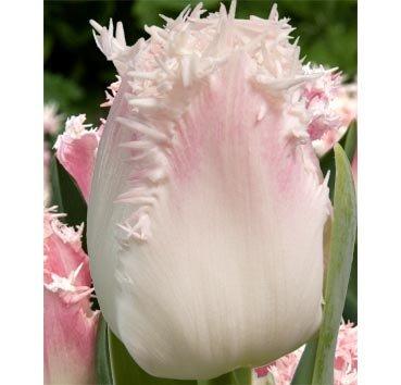 Тюльпан GALERIE (Бахромчатые)