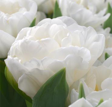 Тюльпан WHITE HEART (Махровые)