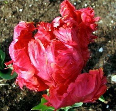 Тюльпан PIONEER (Попугаи)