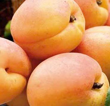 Абрикос  Early Orange (ранний оранжевый)