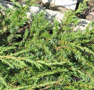 Можжевельник обыкновенный Greenmantle