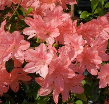 Азалия японская (вечнозеленая) Blaaw's Pink