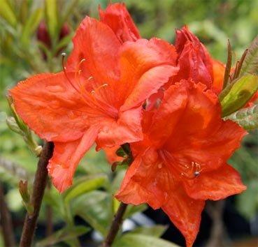 Азалия крупноцветковая Feuerwerk