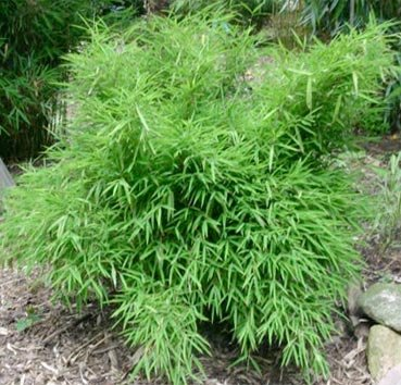 Бамбук Bimbo