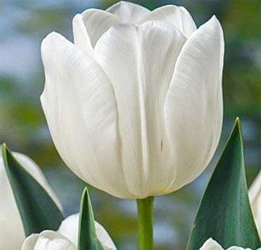 Тюльпан SILVER DOLLAR (Триумф)