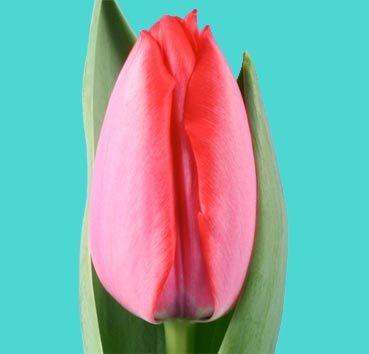 Тюльпан TRICK (Гибриды Дарвина)