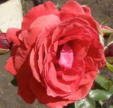Роза бордюрная Concerto