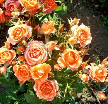 Роза бордюрная Orange Special