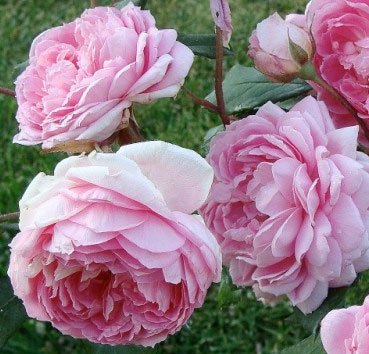 Роза английская Alan Titchmarsh