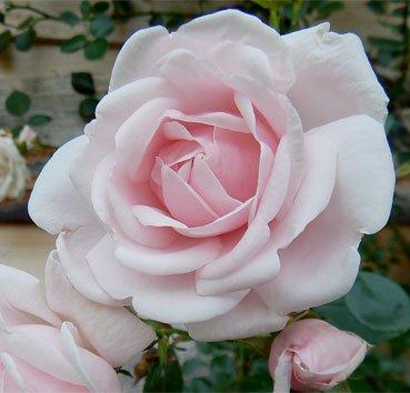 Роза патио New Dawn