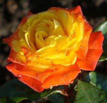 Роза флорибунда Rumba