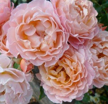 Роза чайно-гибридная Marie Curie
