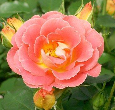 Роза чайно-гибридная Coral Cove, серия Easy Elegance