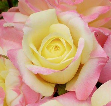 Роза чайно-гибридная Music Box, серия Easy Elegance