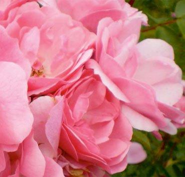 Роза чайно-гибридная Pinktopia, серия Easy Elegance