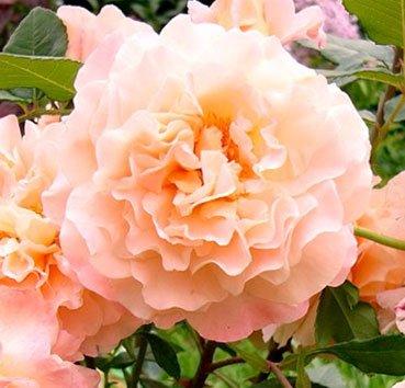 Роза Augusta Luise, серия Exklusive Rosen