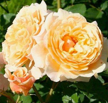 Роза Caramella, серия Exklusive Rosen