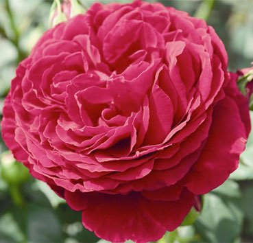 Роза Gospel, серия Exklusive Rosen